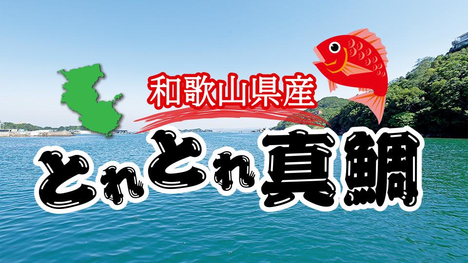 和歌山県産 とれとれ真鯛